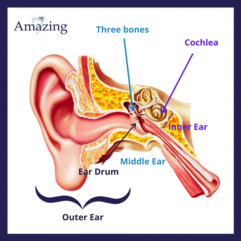 Parts of the ear - amazing hearing
